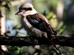 Kookaburra in Tree